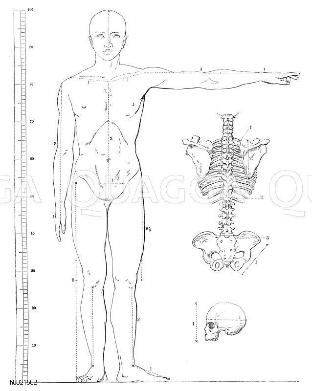 Kanon der menschlichen Gestalt (nach Carus-Rietschel) Zeichnung/Illustration