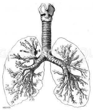 Lungenbaum Zeichnung/Illustration