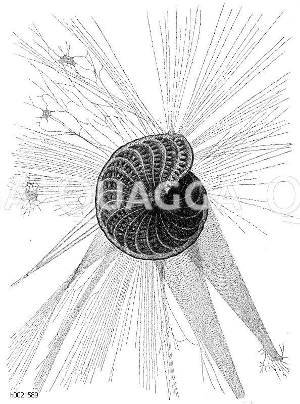 Schalentragender Wurzelfüßer Zeichnung/Illustration