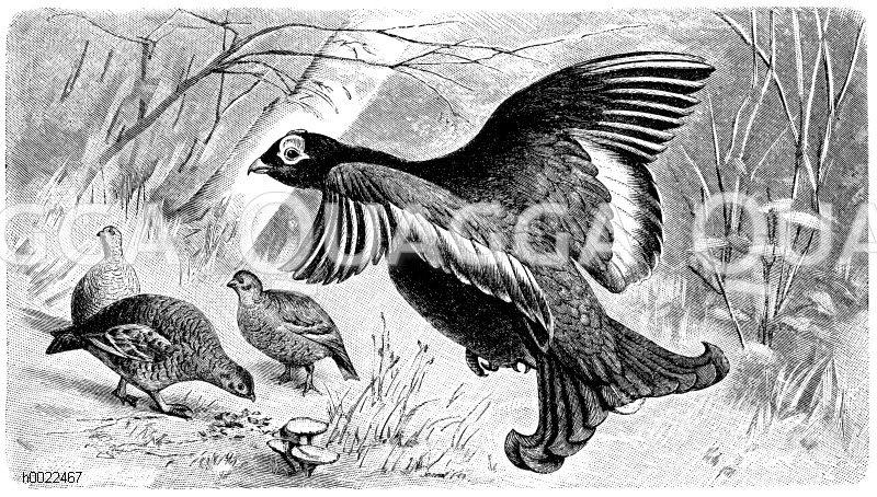 Birkhühner Zeichnung/Illustration