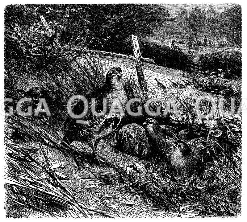 Rebhühner im Feld Zeichnung/Illustration