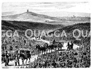 Weinbau in der Champagne Zeichnung/Illustration
