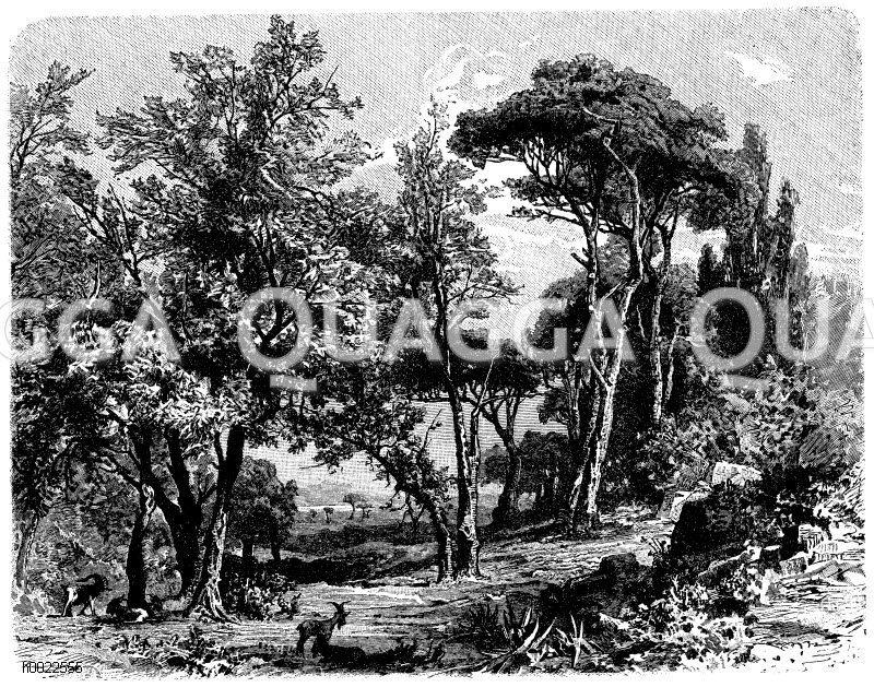 Ölbäume und Pinien Zeichnung/Illustration