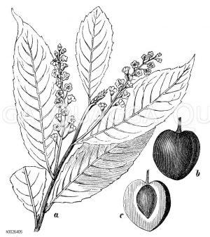 Lauraceae - Lorbeergewächse