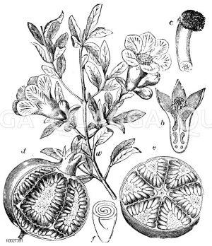 Lythraceae - Blutweiderichgewächse