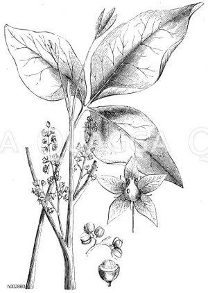 Anacardiaceae - Sumachgewächse
