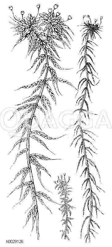 Sphagnaceae - Torfmoose