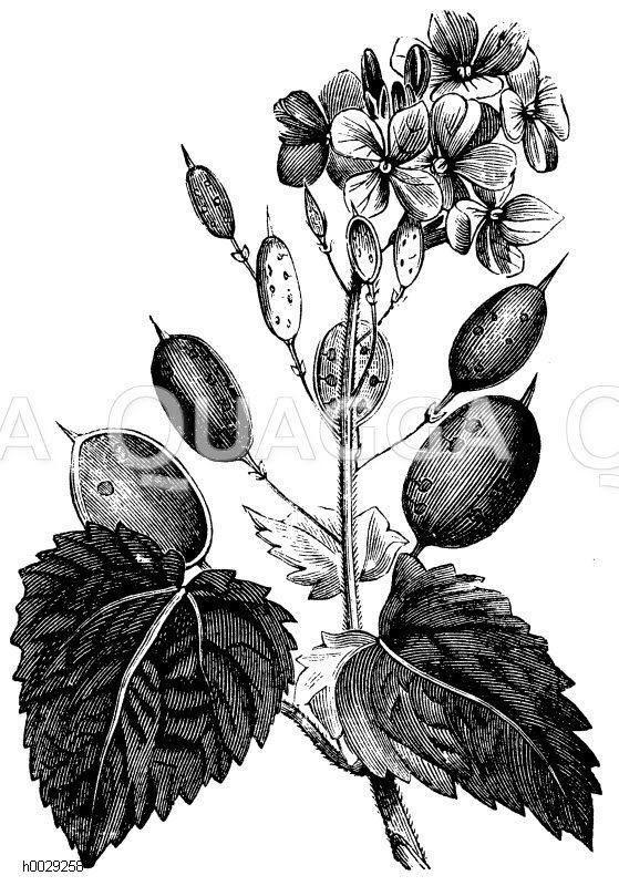 Teakbaum blatt  Teakbaum: Blatt und Blüte