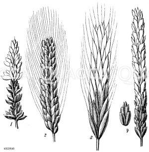Getreide und andere Körner