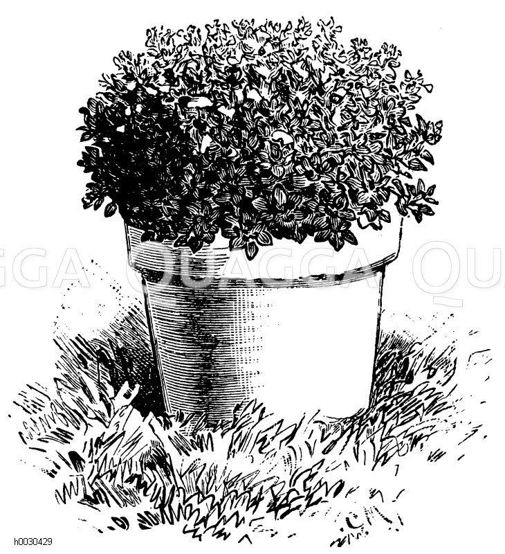 Basilikum Zeichnung/Illustration