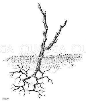 Einjährige Stecklingspflanze Zeichnung/Illustration