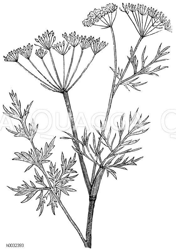 Apiaceae - Doldengewächse