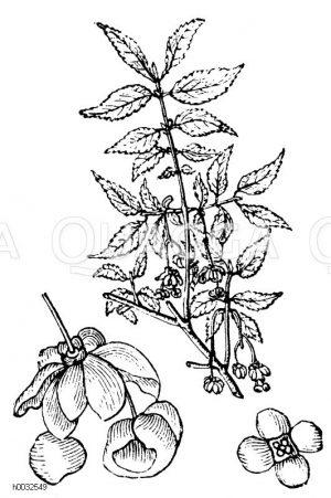 Celastraceae - Spindelbaumgewächse