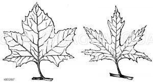 Platanaceae - Platanengewächse