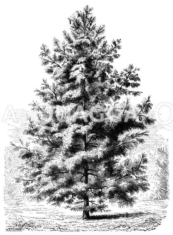 Pinaceae - Kieferngewächse