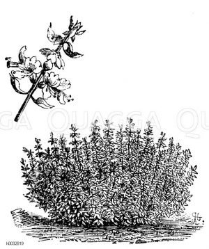 Lamiaceae - Lippenblütler