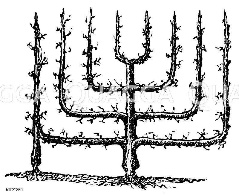 Spalierbäume, Formschnitt