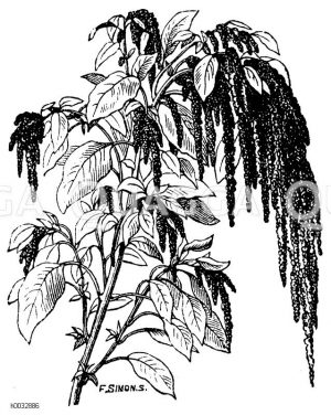 Amaranthaceae - Fuchsschwanzgewächse