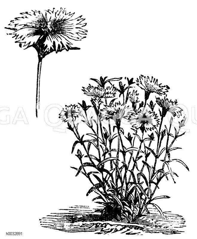 Caryophyllaceae - Nelkengewächse