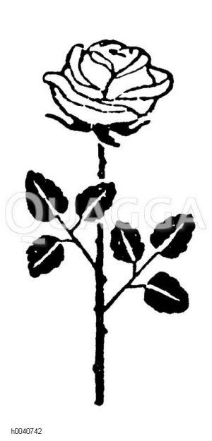 Rosaceae - Rosengewächse