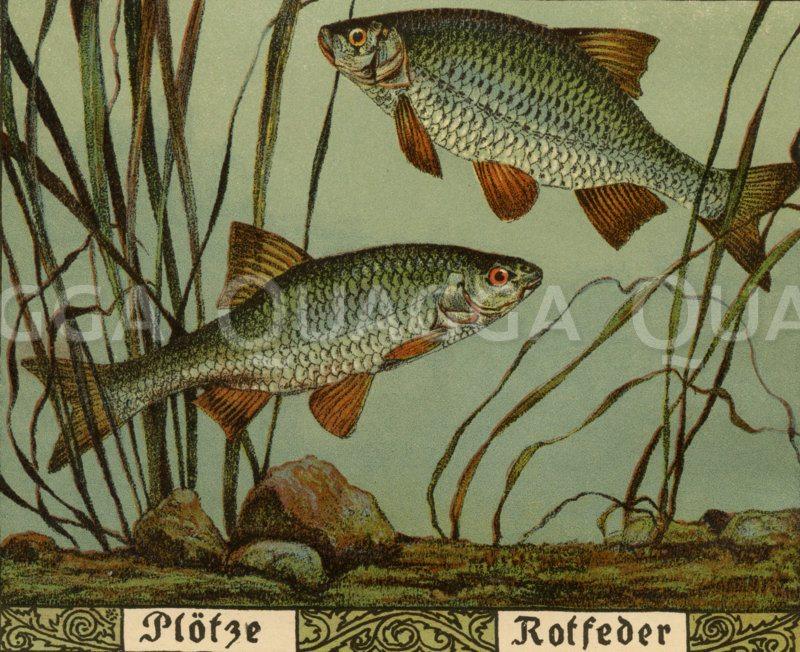 Plötze (links) und Rotfeder (rechts) Zeichnung/Illustration