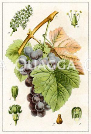 Weinstock: blaue Weintraube Zeichnung/Illustration