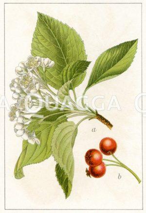 Mehlbeere Zeichnung/Illustration