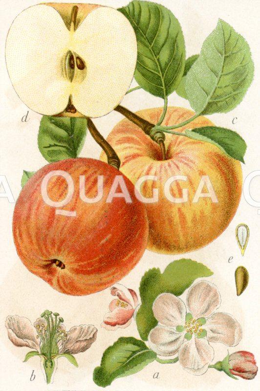 Apfel Zeichnung/Illustration