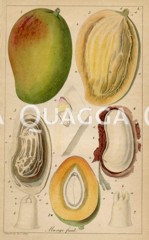 Mango Zeichnung/Illustration