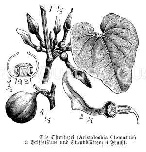 Aristolochiaceae - Osterluzeigewächse