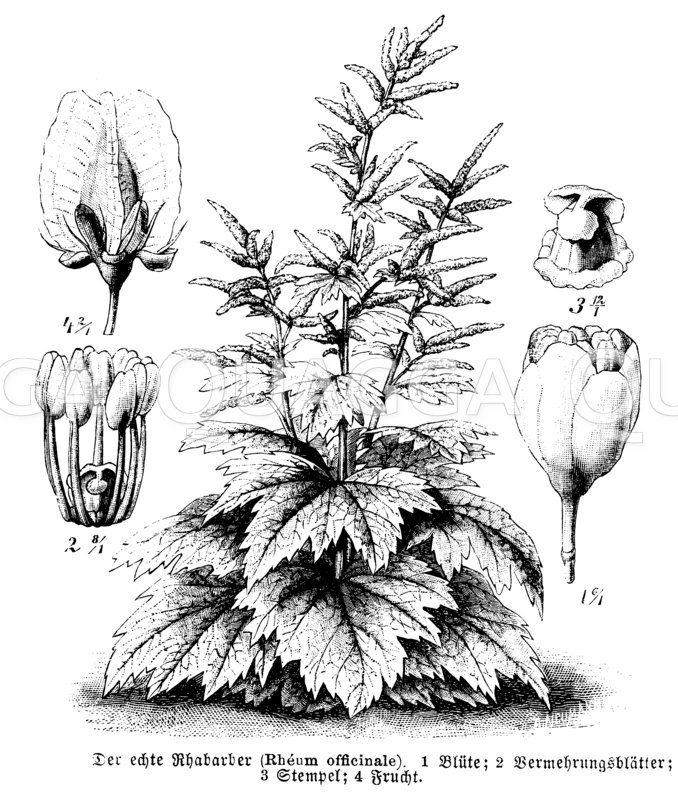 Polygonaceae - Knöterichgewächse