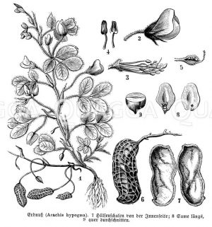 Erdnuss mit Blüte und Frucht Zeichnung/Illustration