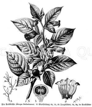 Tollkirsche mit Blüte und Frucht Zeichnung/Illustration