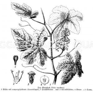 Vitaceae - Weinrebengewächse