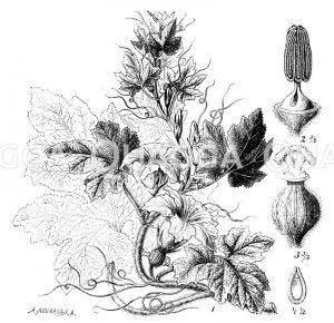 Kürbispflanze mit Blüte und Samen Zeichnung/Illustration