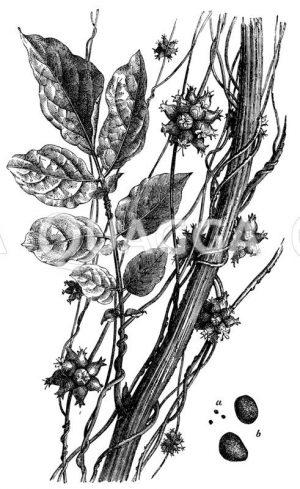 Nesselseide Zeichnung/Illustration