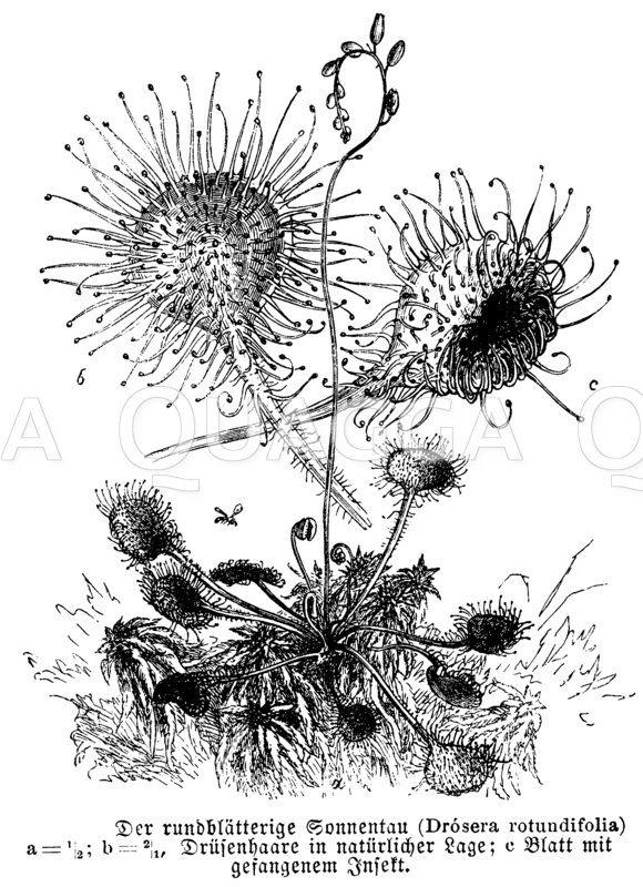Rundblättriger Sonnentau mit gefangenem Insekt Zeichnung/Illustration