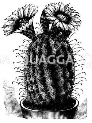 Cachet's Igelkaktus  im Topf mit Blüten Zeichnung/Illustration