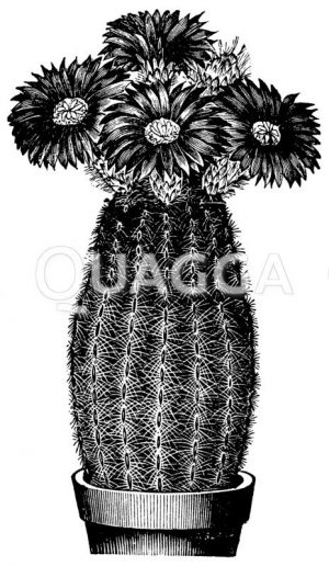 Kamm-Igel-Kerzenkaktus im Topf mit Blüte Zeichnung/Illustration