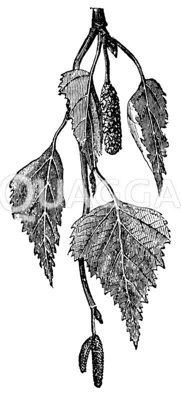 Weißbirke Zeichnung/Illustration