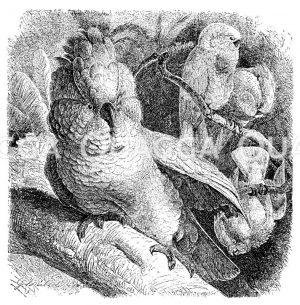 Molukken-Kakadu Zeichnung/Illustration