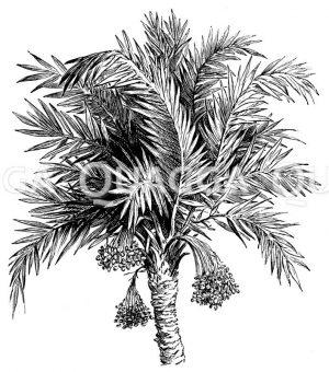 Dattelpalme: Blätterkrone mit Fruchtrispen Zeichnung/Illustration