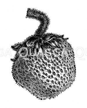 Erdbeere Zeichnung/Illustration