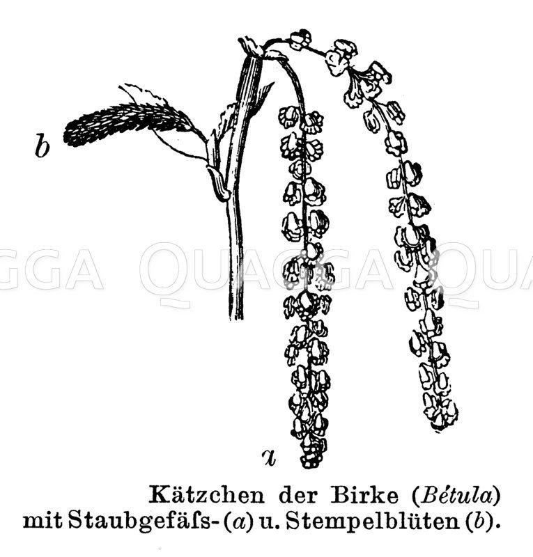 Birke: Kätzchen Zeichnung/Illustration