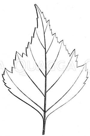 Weißbirke: Blatt Zeichnung/Illustration