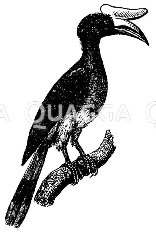 Nashornvögel - Bucerotidae