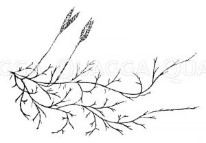 Kolbenbärlapp (Keulen-Bärlapp) Zeichnung/Illustration