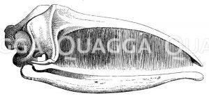 Grönlandwal: Schädel Zeichnung/Illustration
