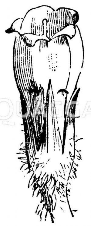 Kelch und Blumenkrone des Beinwell Zeichnung/Illustration
