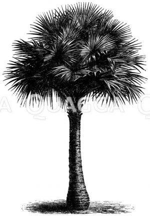 Fächerpalme Zeichnung/Illustration